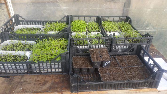 Seminare pomodori biologici autoproduzione