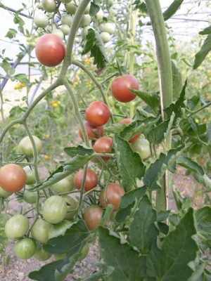 pomodoro black cherry