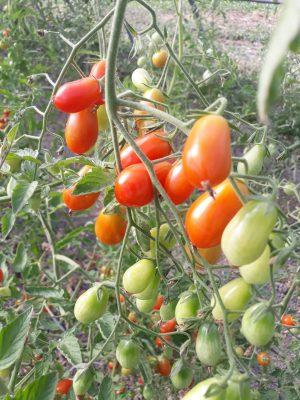 Pomodoro datterino rosso