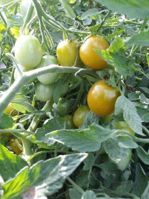 Pomodoro grappolo verde